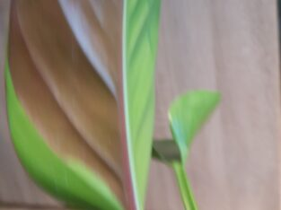 Philodendron Rojo Congo variegata, varigated