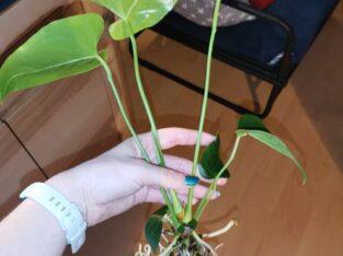 Anthurium andreanum Anthurie weiß bewurzelt ohne Blüte Flami