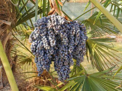 Palmensamen Trachycarpus Fortunei
