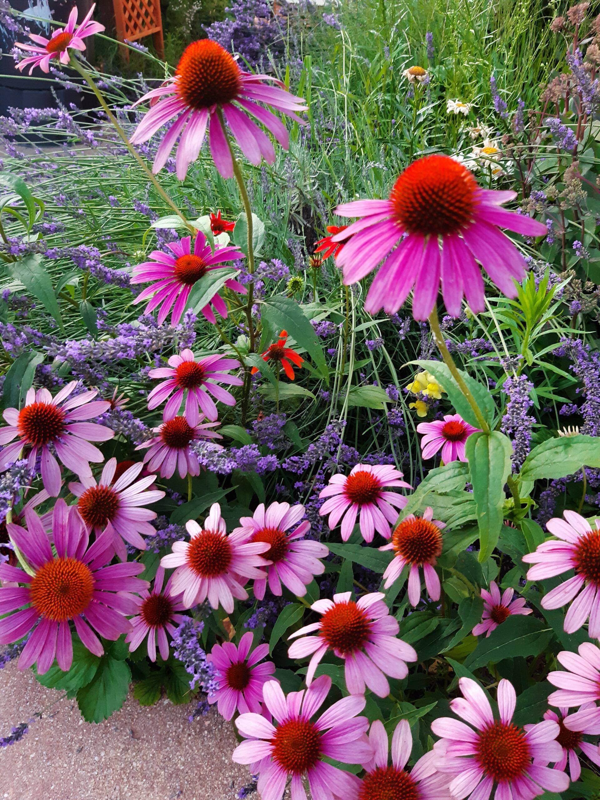 Echinacea Sonnenhut Samen