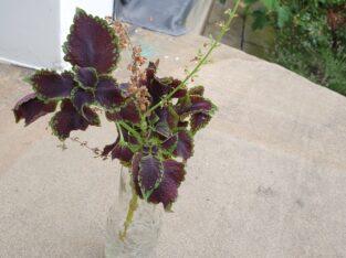 Buntnessel Buntblatt Ableger teilweise bewurzelt lila/grün
