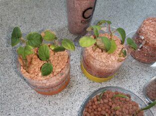 Pflanzen zu verkaufen / tauschen Calathea Sansevierra Kiwi Amaryllis