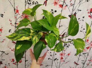 Efeutute ganze Pflanze