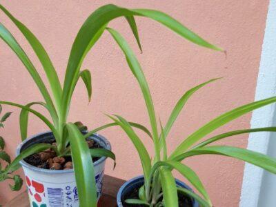 Grünlilien ohne weiße Streifen