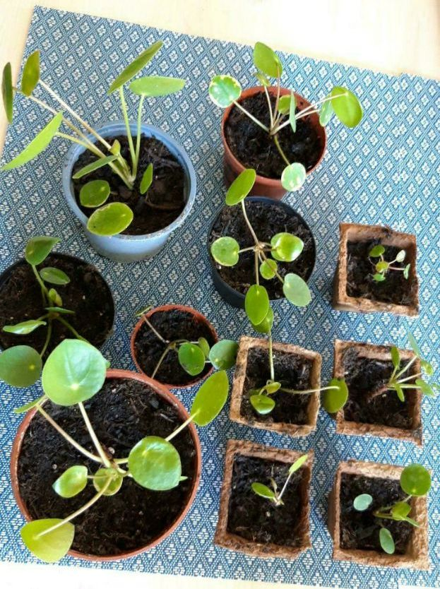 Pilea Peperomioides / Ufopflanzen abzugeben