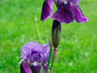 6 x Wasserlilien/ Iris Teichpflanzen Garten Ufernähe