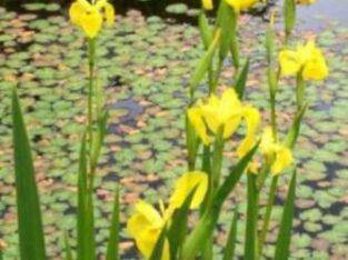 10 x Pflanzen Iris Wasserlilien Gartenteich Bachlauf Garten