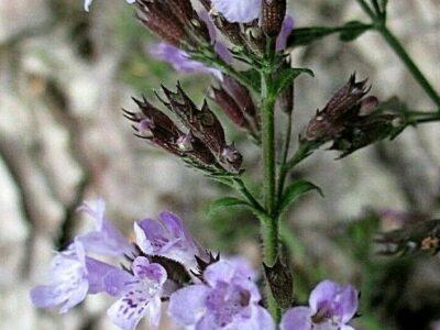 Steinquendel_Bergminze_Calamintha nepeta_Duftpflanze