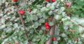Cotoneaster_hoher Cotoneaster_wächst vertikal_Pre-Bonsai