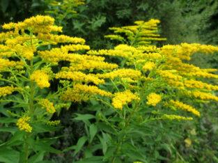 Kanadische Goldrute_aus Biogarten_Heilpflanze der Indianer