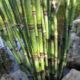 Jap. Riesen-Winter- Schachtelhalm_Equisetum hyemale var. rob