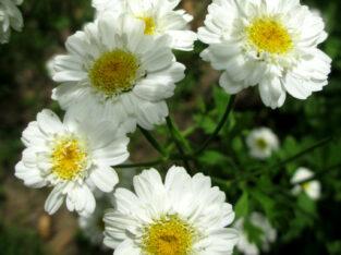 3x Mutterkraut_Chrysanthemum Parthenium_versch. Blütenformen