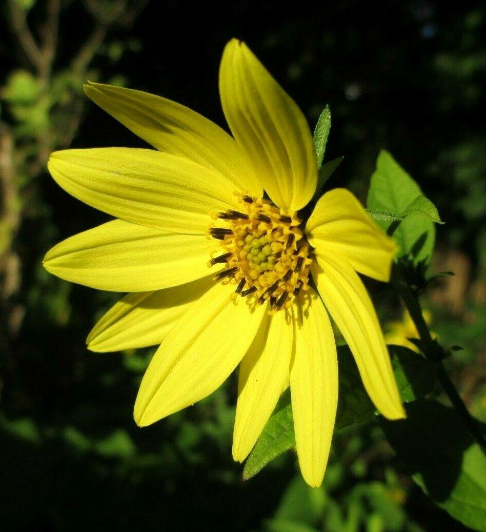 Stauden-Sonnenblume_Helianthus microcephalus_Lemon Queen