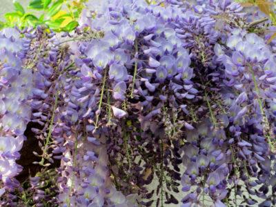 Blauregen_Wisteria sinensis_5 Samen_Wisterie_Glyzine