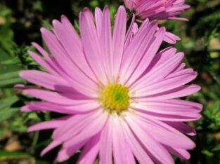 6 x Herbstaster_6 Jungpflanzen_unbekannte Farbe