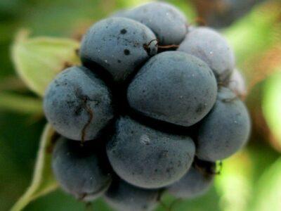 Kroatzbeere_Kratzbeere_Rubus caesius_Ableger_Obst-u.Heilpfl.