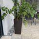 Glücksfeder Zemioculca Zimmerpflanze