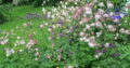 3 Akelei_Blütenfarben sind eine Überraschung