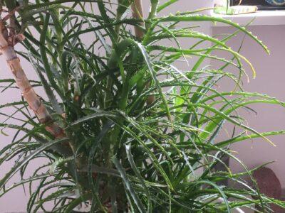 Aloe Aborescens Ableger, bereits 50-100cm hoch