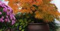 Japanischer Schlitzahorn (Acer palmatum)