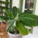 Bananenpalme Bananen Blatt Pflanze