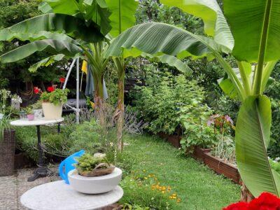 Bananenpflanze Musa, dekorative Pflanze