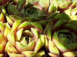 Sempervivum Hauswurz – je Sorte ein Ableger, ab 20 Stück