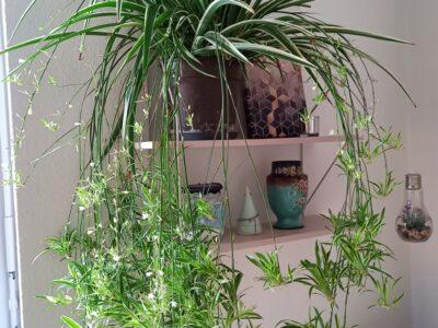Ableger Grünlilie (Chlorophytum comosum) zwischen 12-18 cm