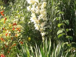 Palmlilie, Yucca