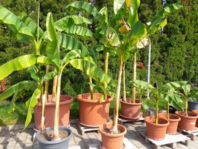 Bananenpflanzen in verschiedenen Größen zu verkaufen