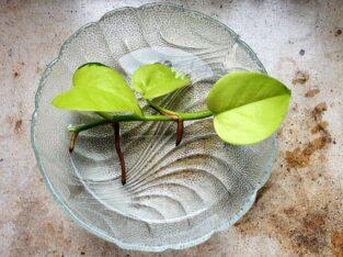 Epipremnum aureum neongrün – Efeutute