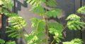 Mimosenbaum schön groß und gelb blühend