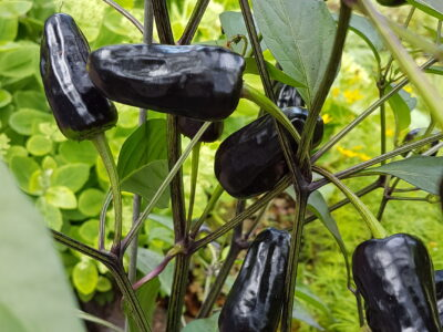 Chili schwarz Chilipflanzen