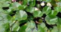 Wasserpflanze Seerose weiß und rose`