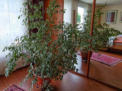 Ficus Benjamini H: 2m