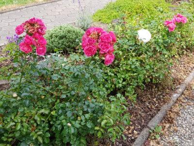 Rosen (pink) (bei mir als Rosenbeet-Hecke)zu verkaufen!