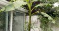 Winterharte Banane Pflanze Musa Bajoo Ableger