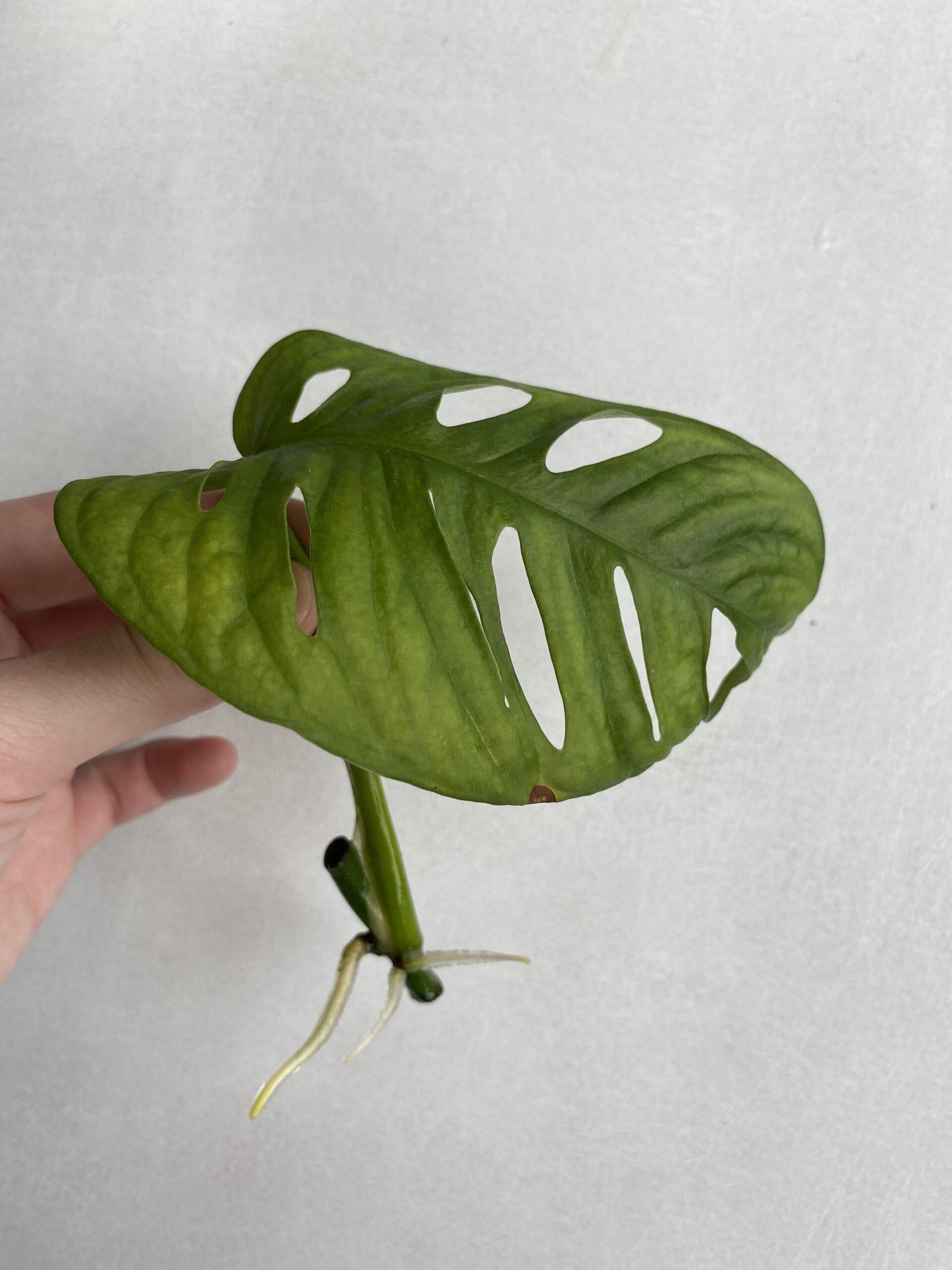 Monstera Monkey Leaf Ableger