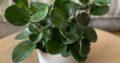 Zimmerpflanzen Grünlilien verschiedene Größen