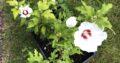 5 Hibiskuspflanzen