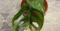 monstera adansonii Variegated Stammsteckling mit Neuaustrieb