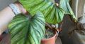 Philodendron Plowmanii