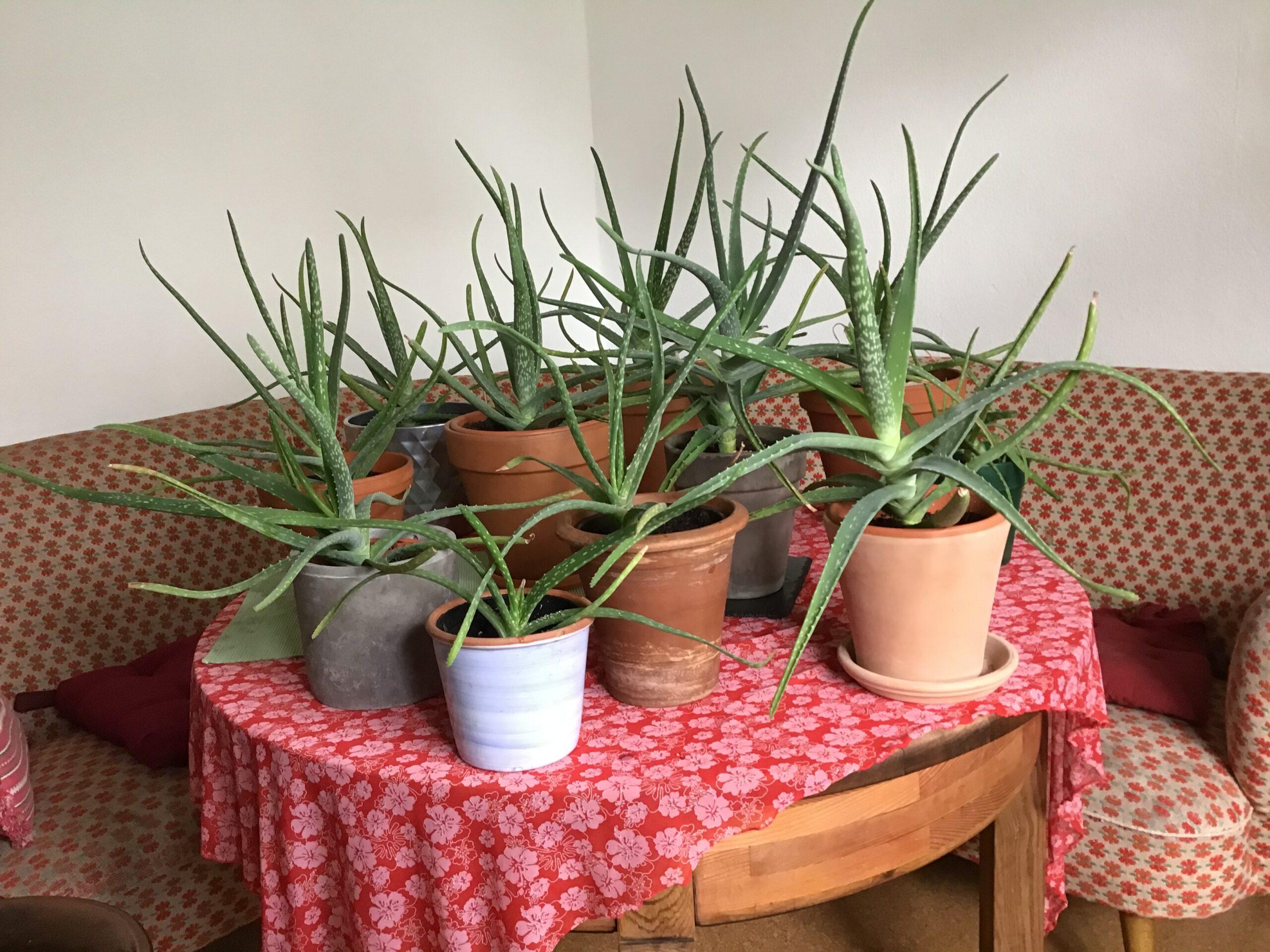 Aloeverapflanzen