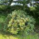 Große Rhododendron zum Selbstausgraben