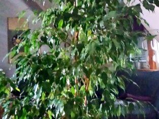 "Pflanze Birkenfeige ""Ficus Benjamini"" H ca. 220 cm"