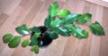 Junge gesunde Birkenfeige Ficus Benjamini H ca. 60 cm