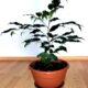 Junge gesunde Birkenfeige Ficus Benjamini H ca. 80 cm
