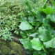 Bergenie_cordifolia Herbstblüte_bew. Abl._blüht 2 x im Jahr