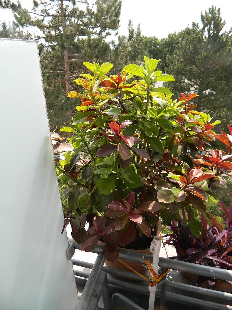 Sehr schöne große und sehr seltene mediterrane Pflanze.