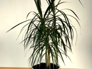 Drachenbaum Dracaena Marginata Palme H ca. 140 cm